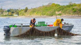 Wakamé irlandais (alaria esculenta) cultivé sur filin dans la rance. Photo C-Weeds aquaculture.